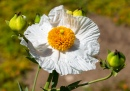 Matilija Poppy, Descanso Gardens, Los Angeles