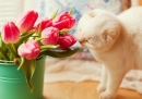Tulipes roses et chat blanc