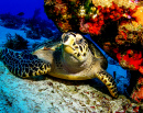 Tortue Hawksbill, Cozumel, Mexique
