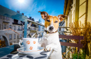 Jack Russell Terrier prenant le thé