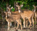 Spotted Deer Herd