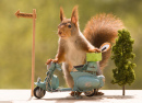 Red Squirrel with a Motorbike
