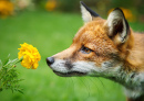 Red Fox Smelling Marigold Flower