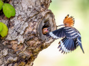 Common Hoopoe Feeding a Chick