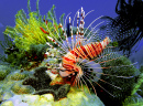 Lion Fish, Borneo Island