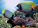 Emperor Angelfish, Red Sea