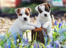 Des chiots Jack Russell Terrier