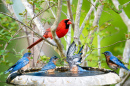 Northern Cardinal and Eastern Bluebirds