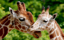 Un couple de girafes