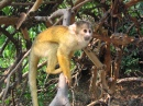 Squirrel Monkey, Amazonian Basin